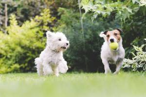 Two dogs playing with a ball. Dogs, pets, playing, ball, summer
