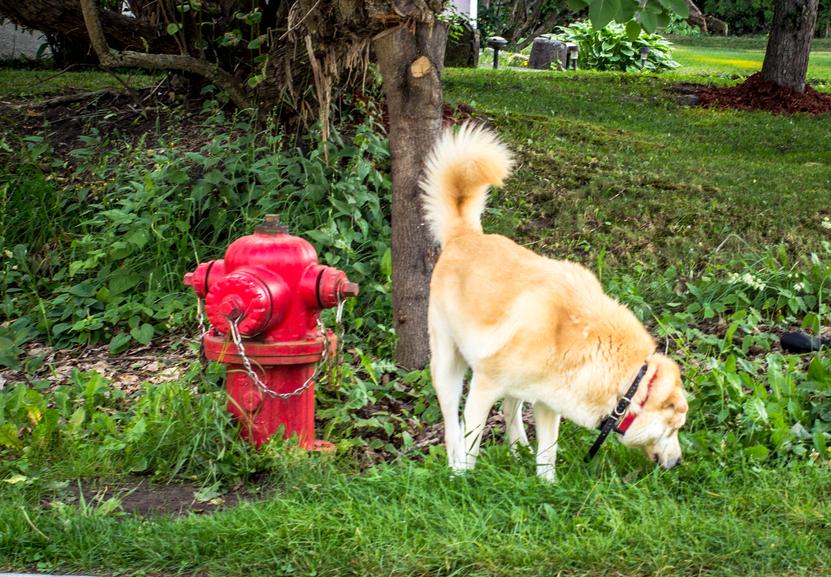 Yellow Labrador Retriever sniffing around a fire hydrant.