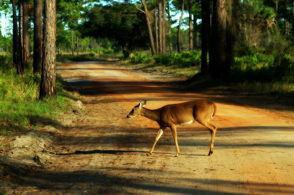 Highlands-Hammock_contest_JENNIFER-THAYER_Deer-crossing-dirt-road-through-