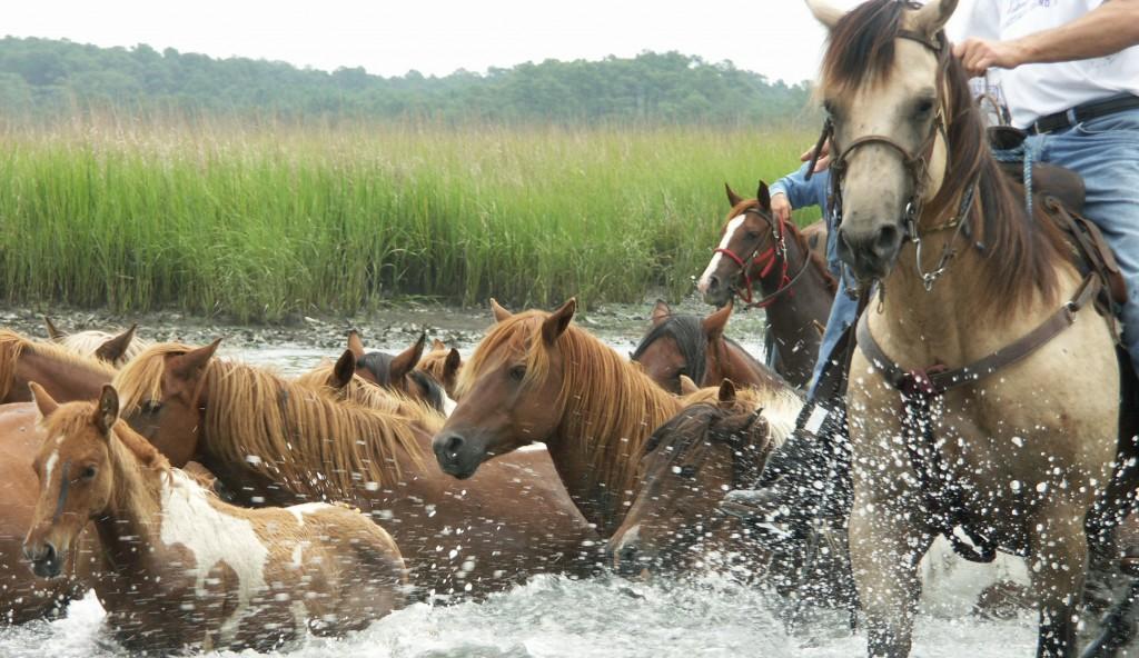 The Annual Wild Pony Swim