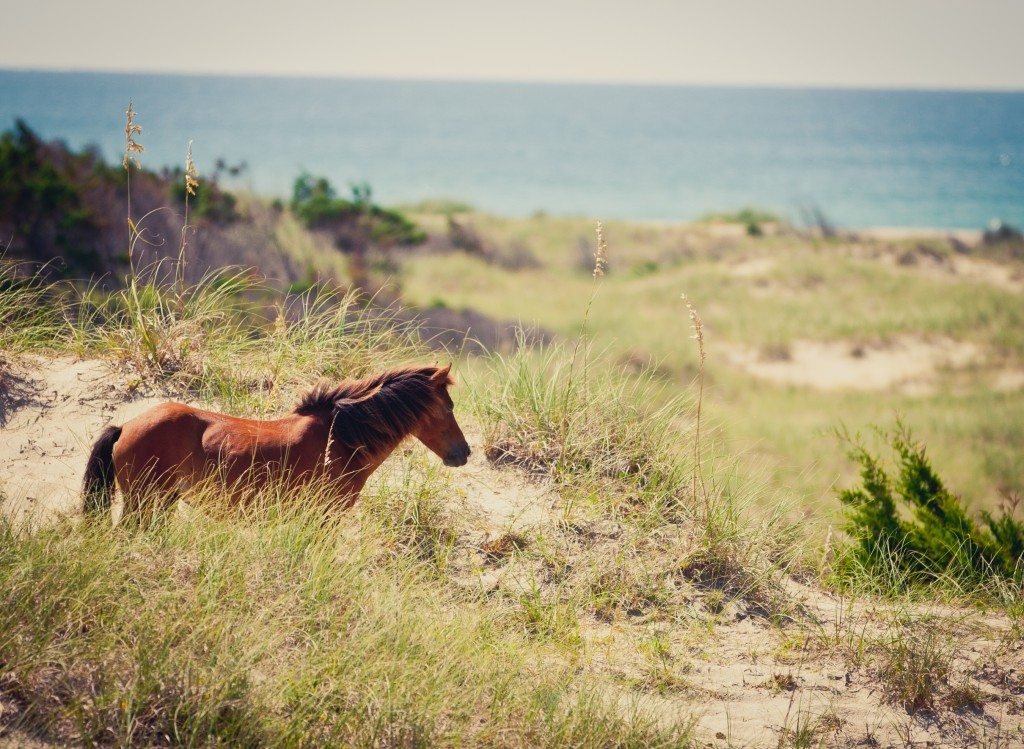 Wild horse in the dunes at Shackleford Banks.