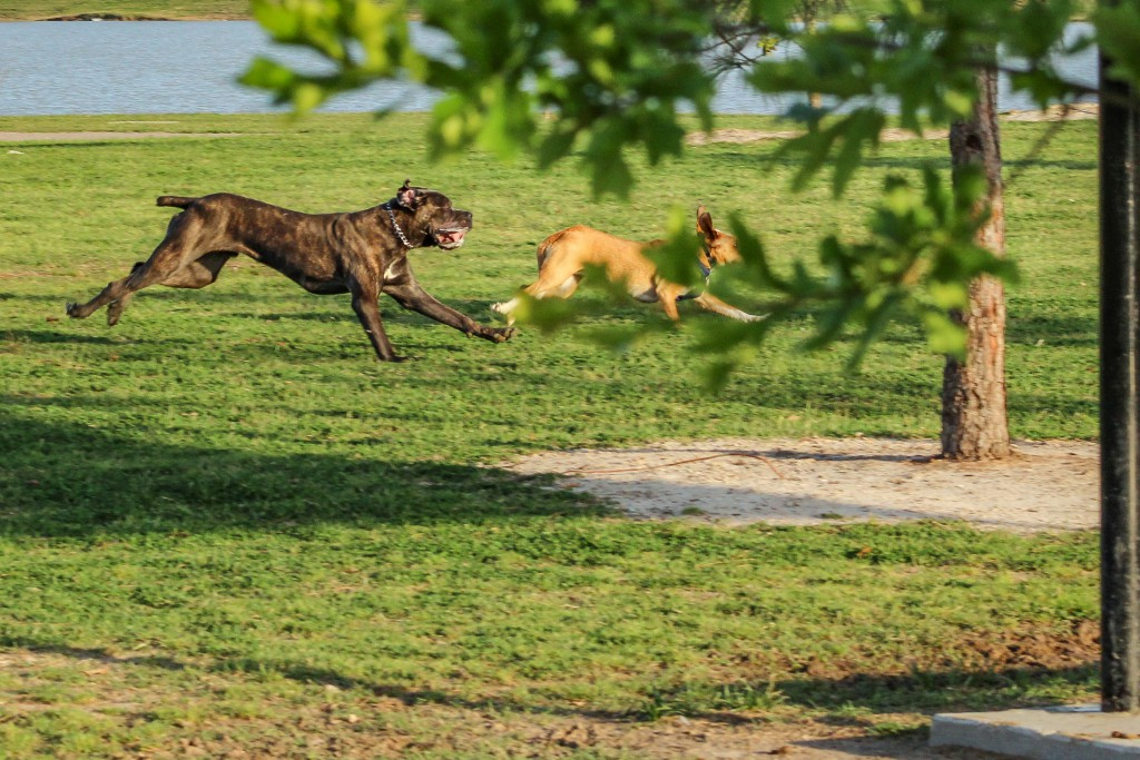 Pair of dogs running together in a dog park with retention pond in the background. Muscular brindle colored dog with cropped tail and a tan and white beagle mix. Canon EOS Rebel T3i 3035px X 2023px 300 dpi