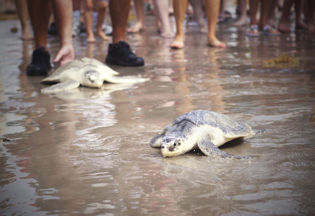 Padre Island Baby Sea Turtles