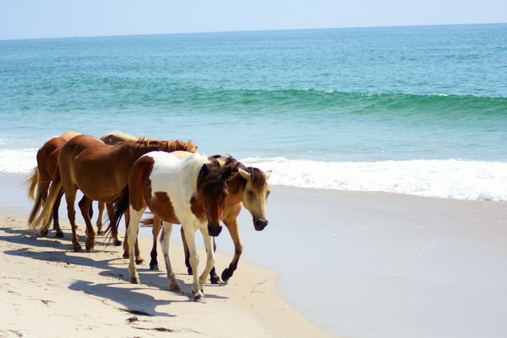 Chincoteague Island Horses. hidden gems of the east coast